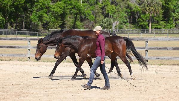 Karen Rohlf Dressage Naturally Liberty stretching 2 horses