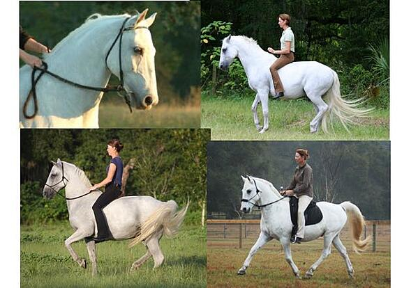 Karen Rohlf Dressage Naturally Bitless Dressage